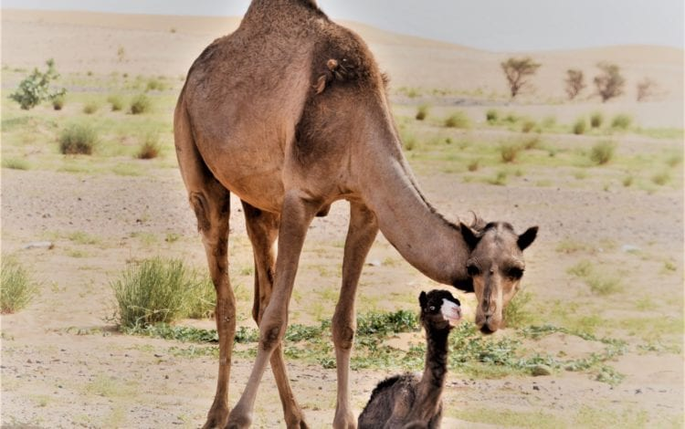 A mother camel with her tiny newborn baby