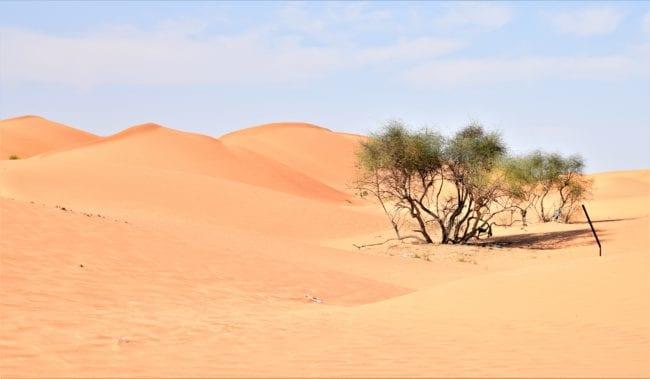 Caramel desert dunes and an acacia bush
