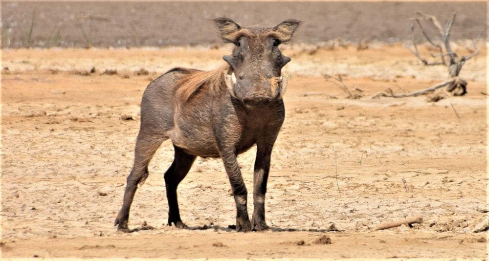 A warthog with his face turned towards us