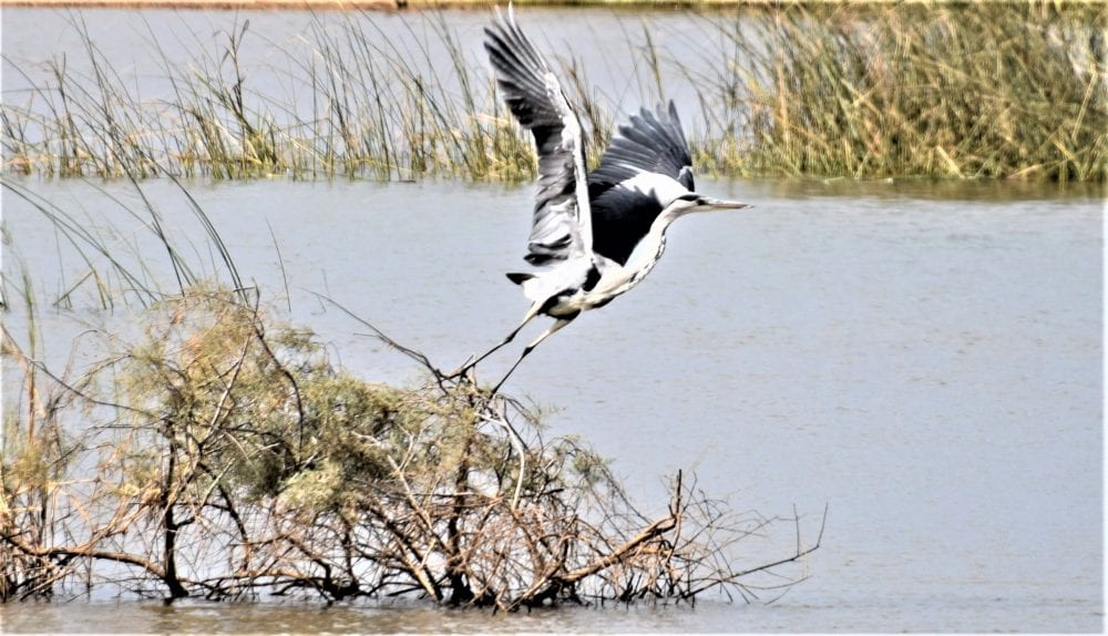 A heron takes off across the water in Diawling National Park