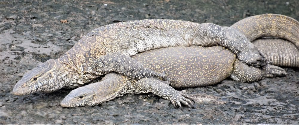 A pair of monitor lizards