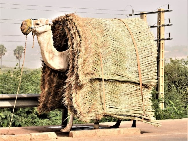 A camel covered in woven palm carpets, just its head sticking out