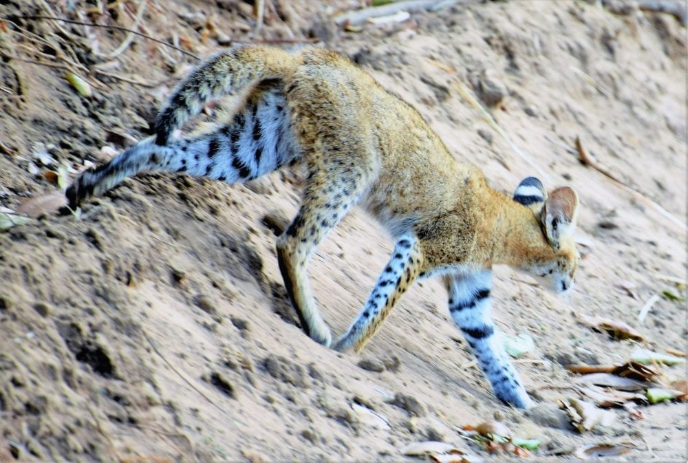 A juvenile serval slides out of the forest onto the road