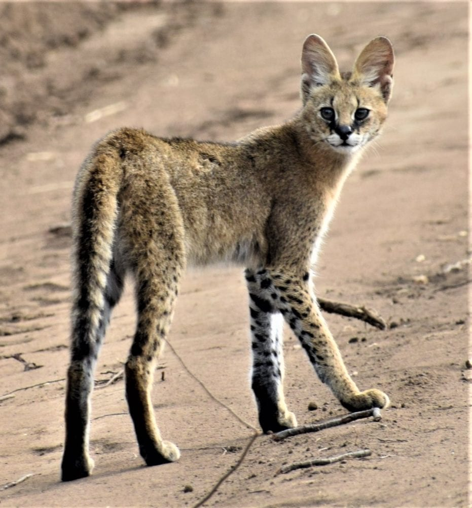 A juvenile serval standing on the road