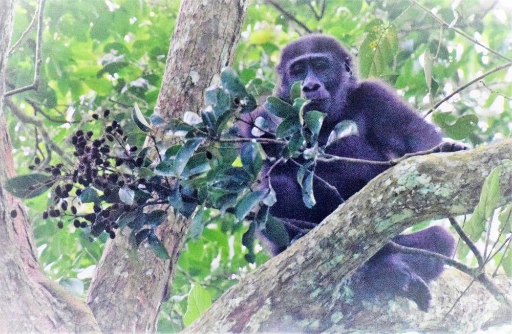 Lowland gorilla perched on a branch, Odzala, Congo