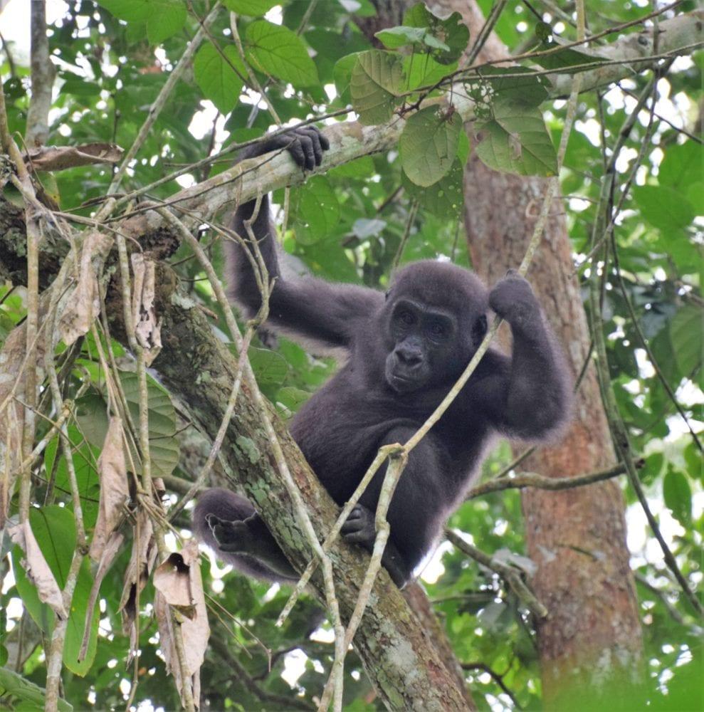 Young gorilla climbing a tree, Odzala, Congo