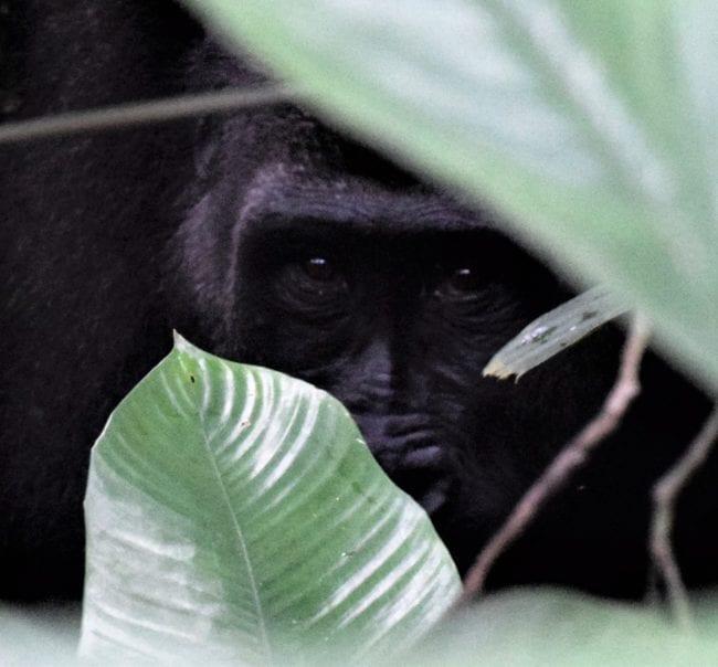 Silverback gorilla peeps through the marantaceae, Odzala, Congo