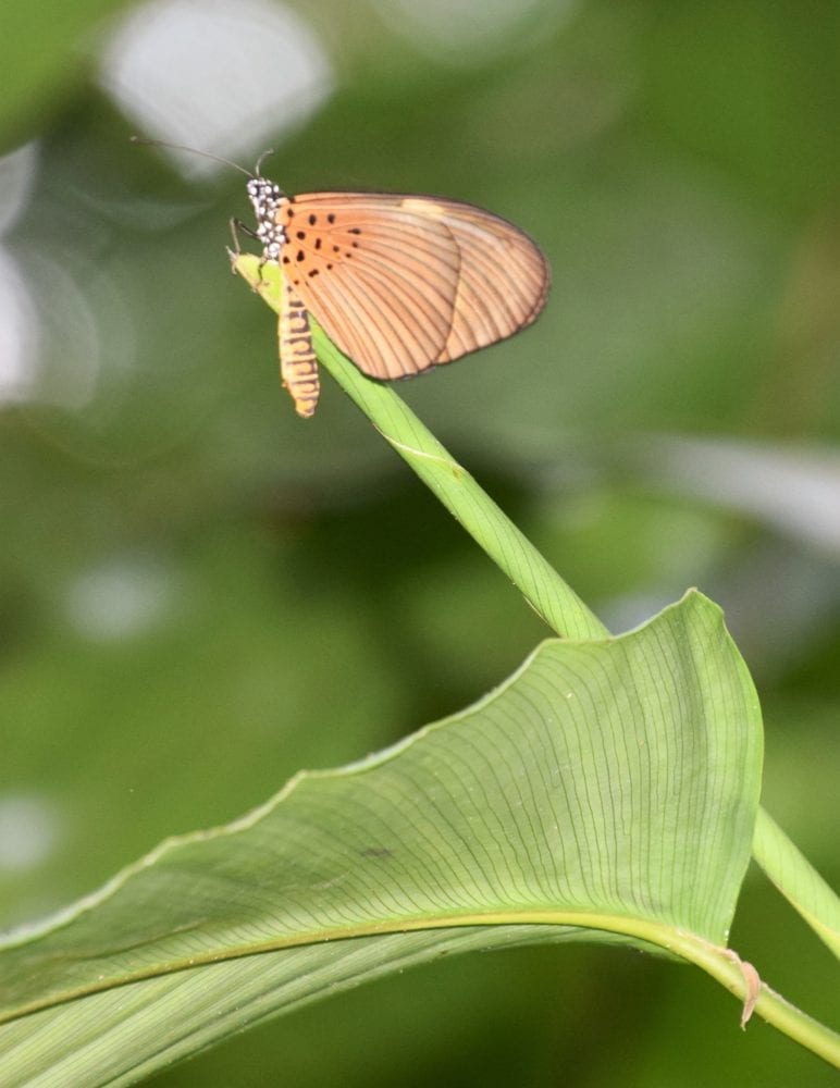 A small copper coloured butterfly perching on a taro stem