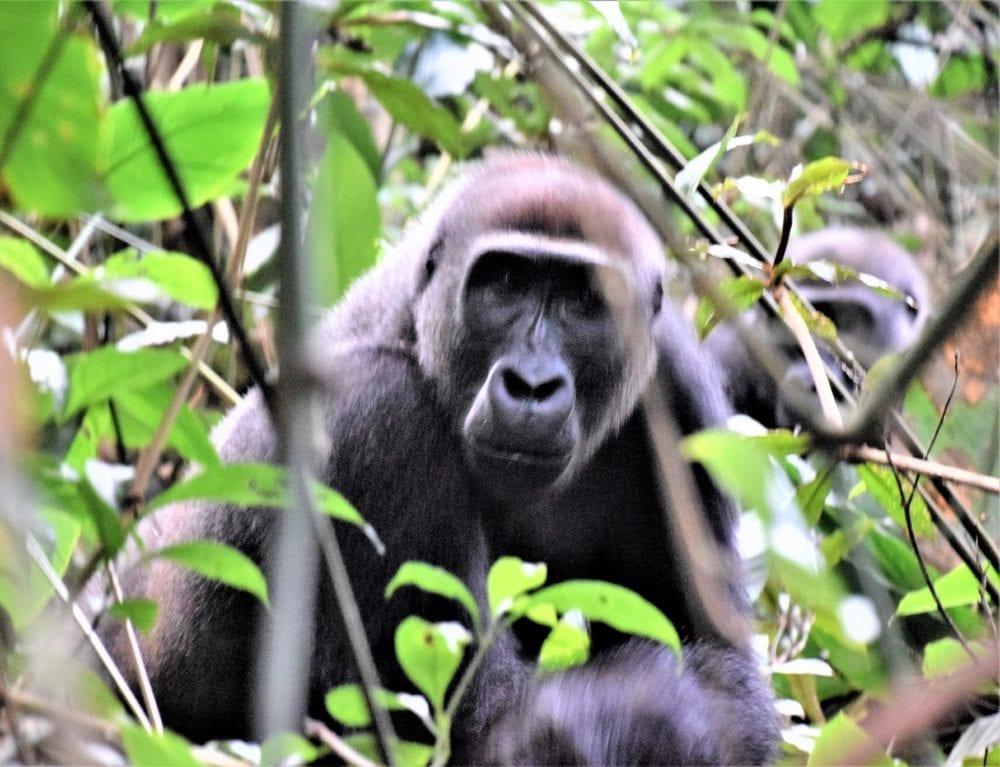 A gorilla peers through the marantaceae, Odzala, Congo