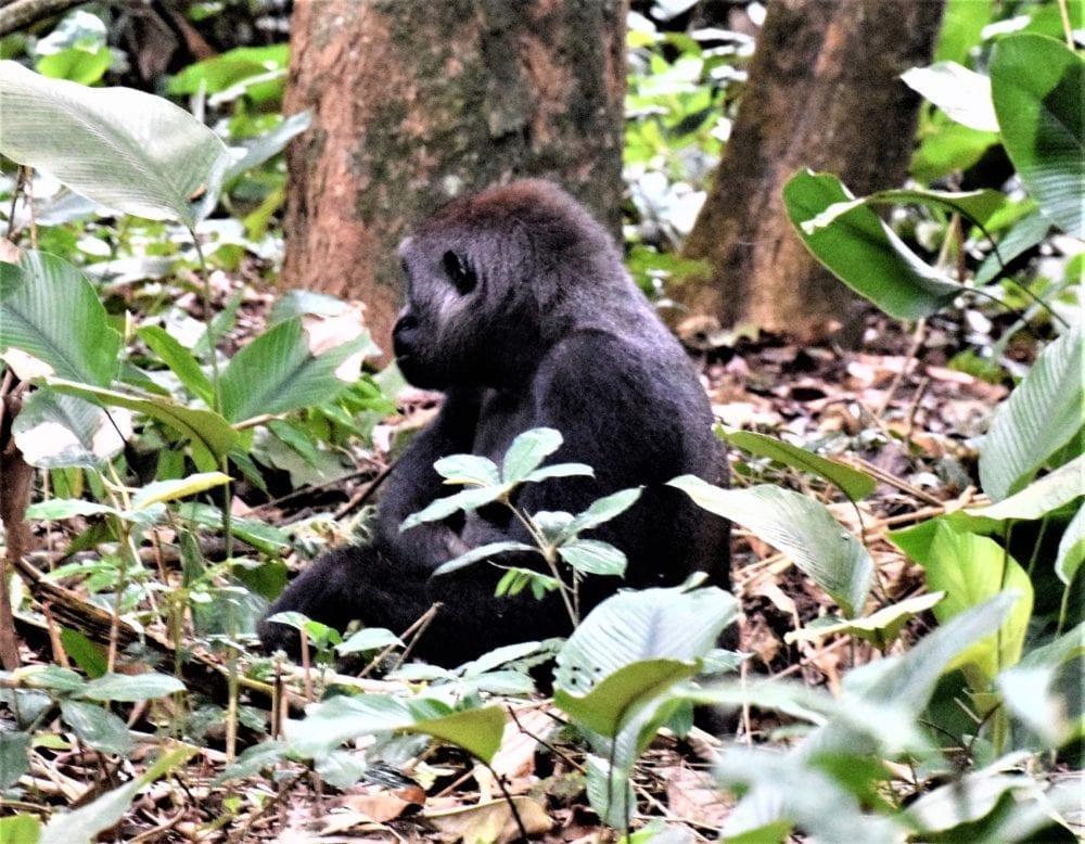 Gorilla sitting in the marantaceae, Odzala, Congo