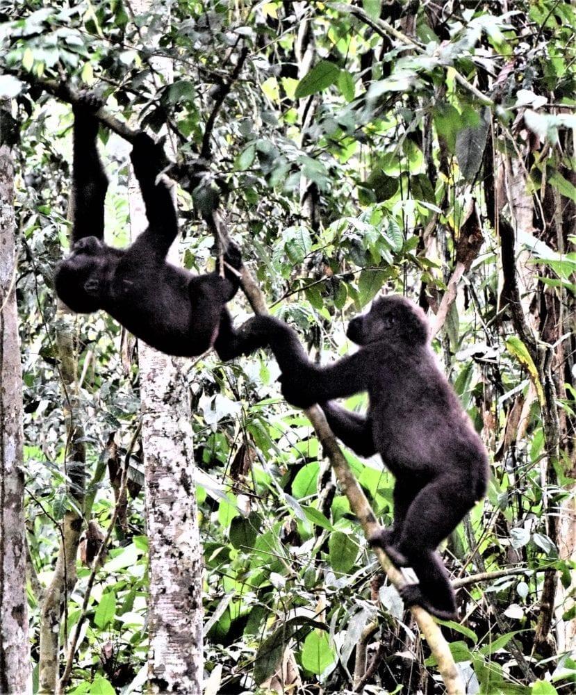 Two young gorillas swinging on a liana, Odzala, Congo