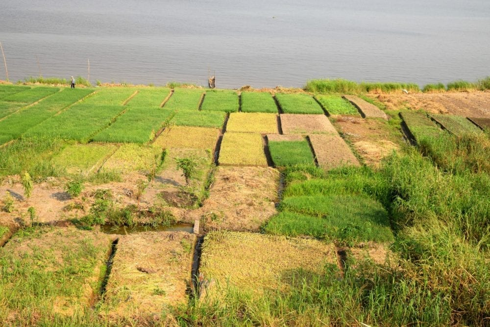 Green terrace rectangles of rice by the banks of the Congo River, Brazzaville