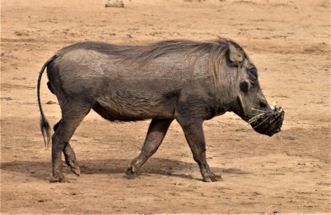 A warthog in Diawling National Park