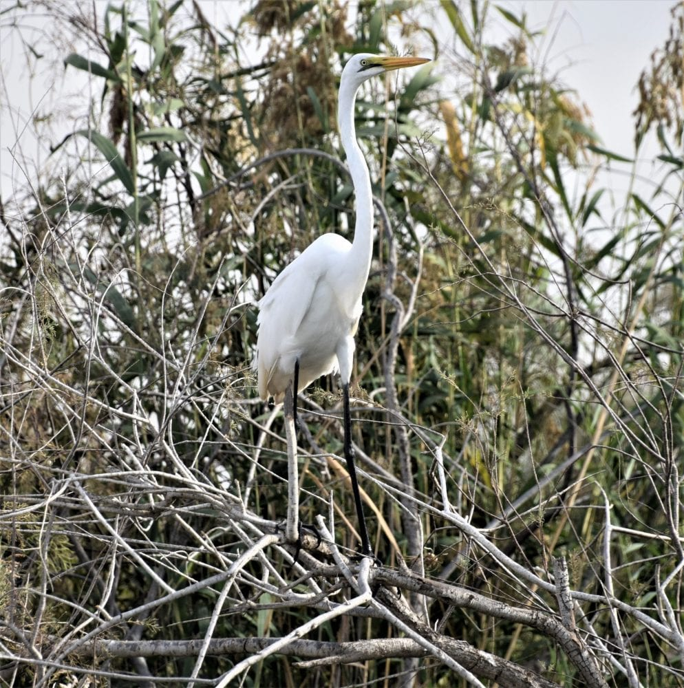 A great egret perched on a bush in Diawling National Park