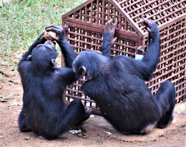Two chimpanzees squabble over a coconut at Tacugama Sierra Leone