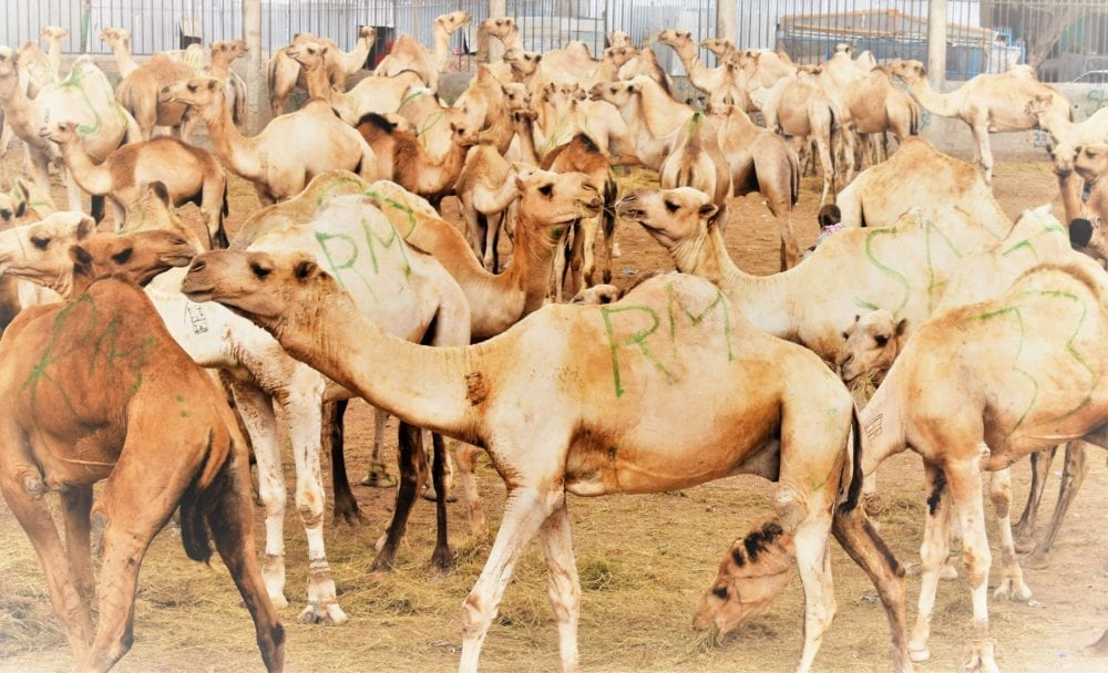 Many camels at the market in Hargeisa