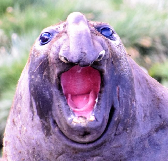 A close up of an elephant seal opening his mouth wide in South Georgia