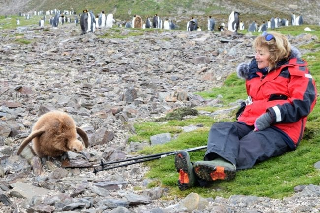 Sue with a king penguin chick who is pecking at Sue's walking poles