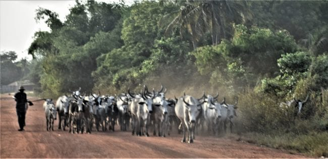 White horned cattle driven along the road in Togo