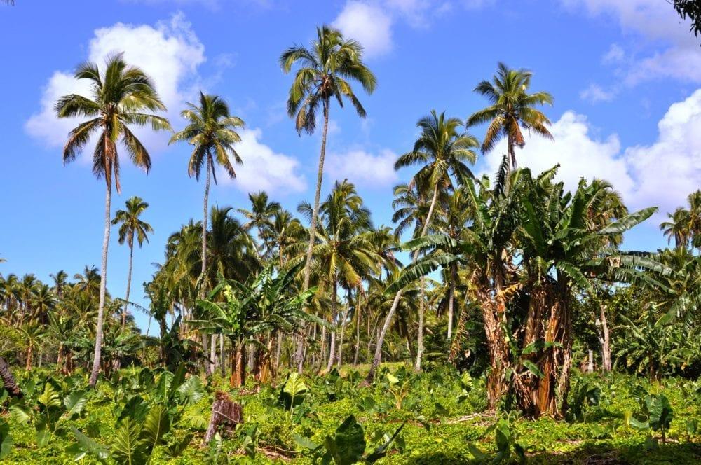 A plantation of coconut palms and banana trees
