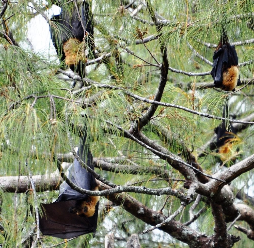 Flying foxes hanging upside down in a tree on Tonga