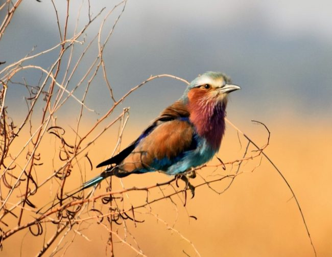 A lilac breasted roller bird perched on a twiggy branch