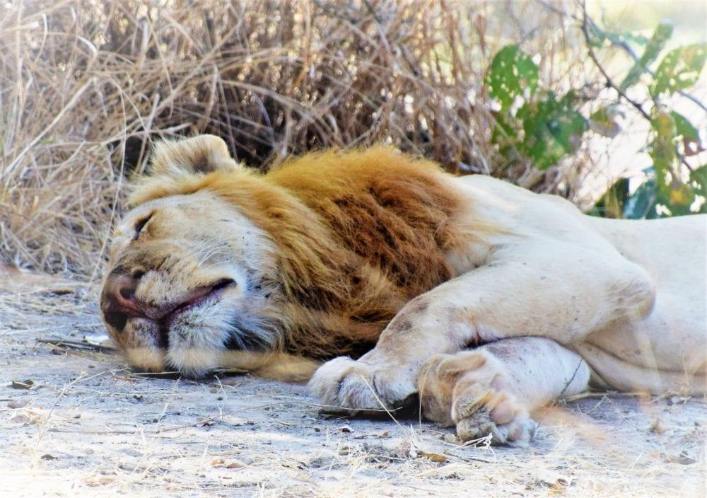 A headshot of a male lion lying on the ground, South Lunagwa, Zambia