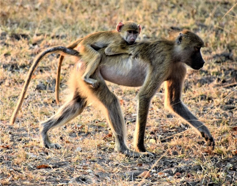 A baboon carries its young on its back