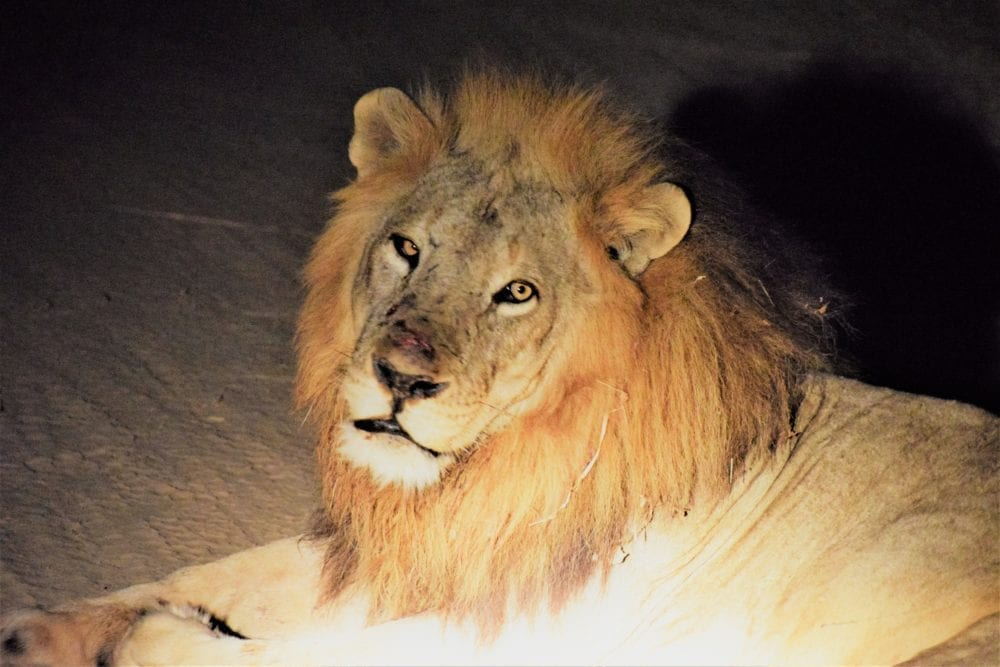 A headshot of a male lion