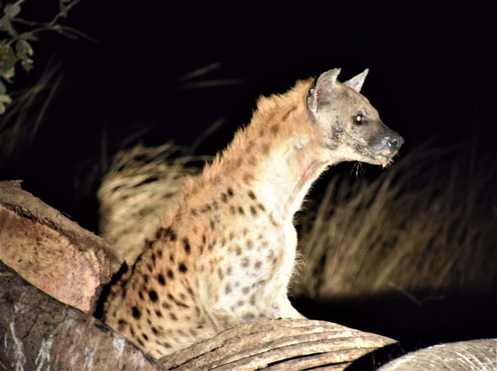 A spotted hyena peeping out of its lair at night