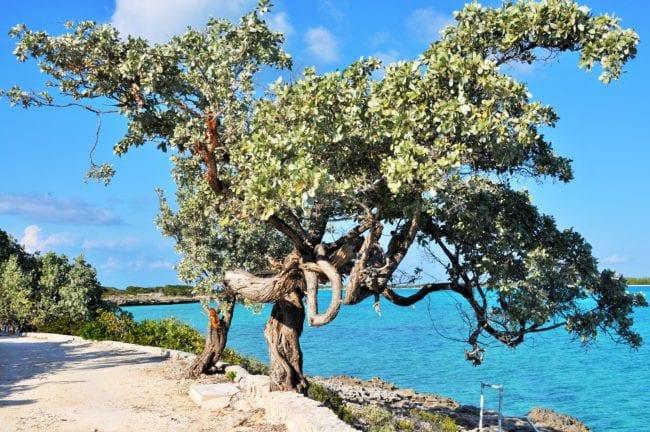 Wind shaped tree in the Exumas
