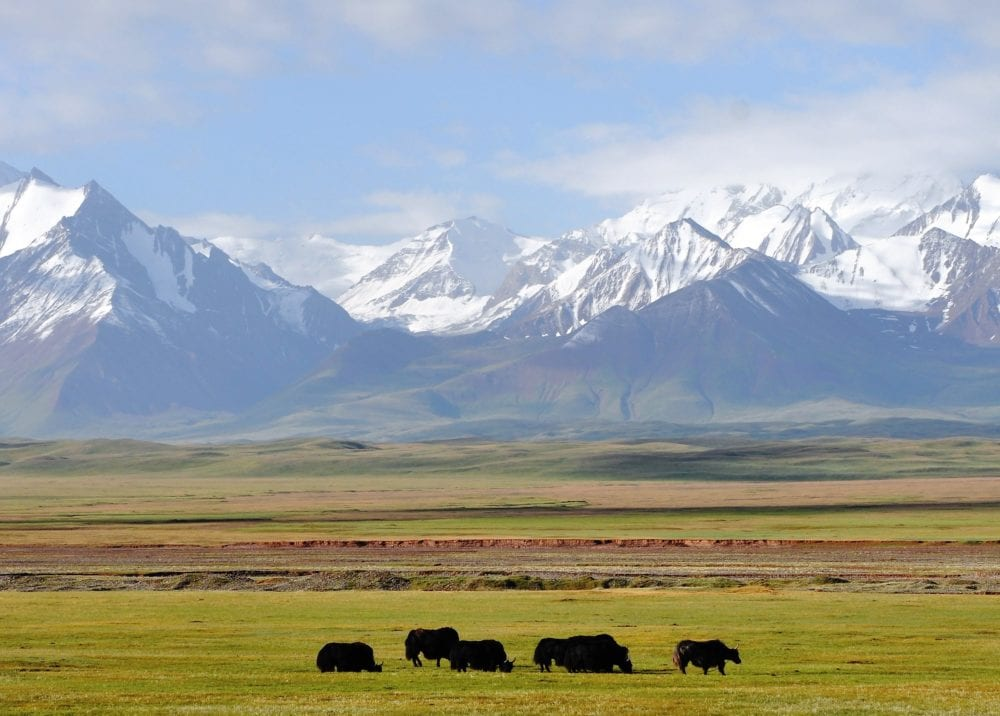 Yak grazing in front of snow covered Pamir Mountains seen from Sary Tash Kyrgyzstan