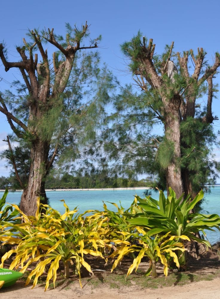 Pollarded trees in front of the swimming pool, Cook Islands
