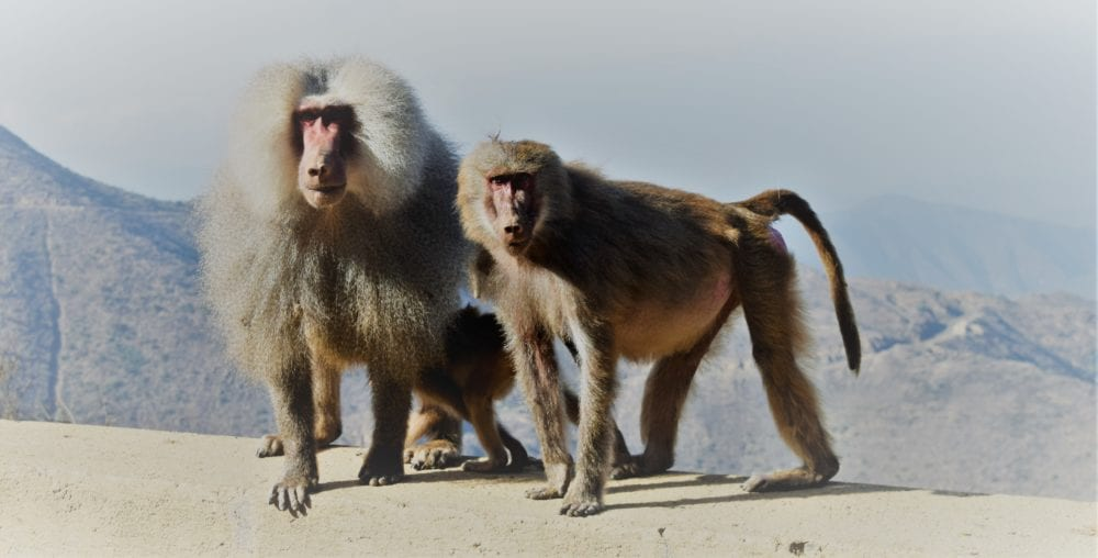 A pair of baboons perched on a wall, mountains behind in Eritrea