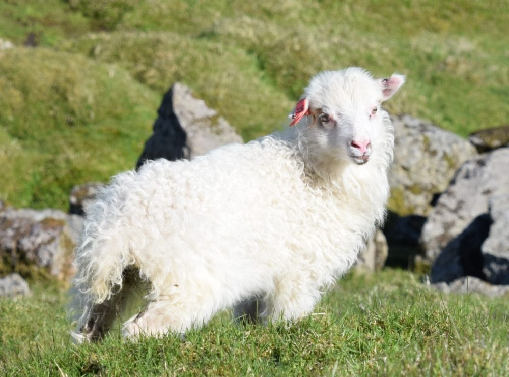 White, thick coated lamb with pink nose and ears, Faroe Islands