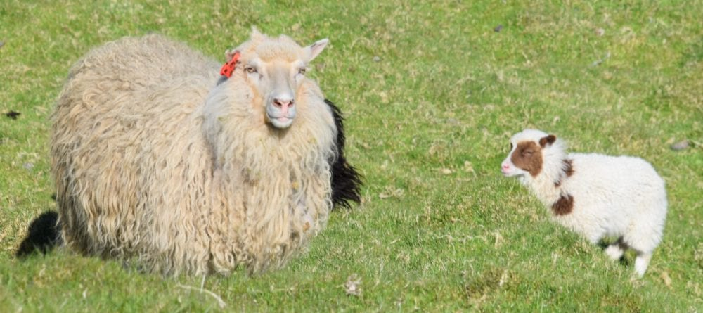 Cream shaggy sheep with her brown and white lamb, Faroe Islands
