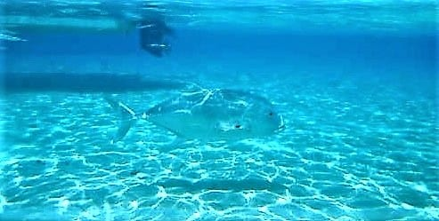 Giant trevalli fish swimming underwater Aitutaki Lagoon