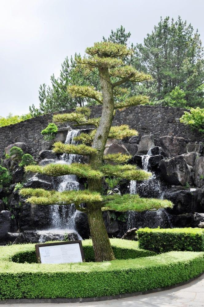 A bonsai tree at at the bonsai garden Jeju