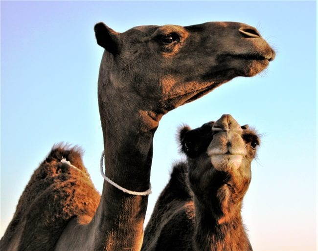 A close up of two camels' heads