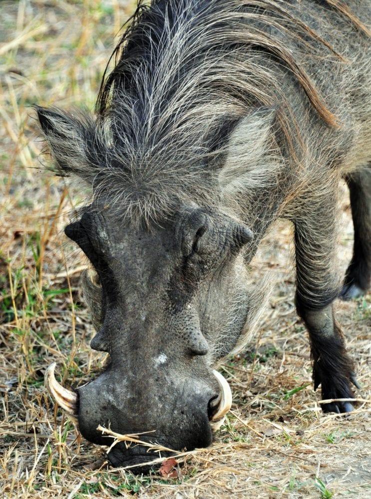 Close up of a warthog grazing at Liwonde