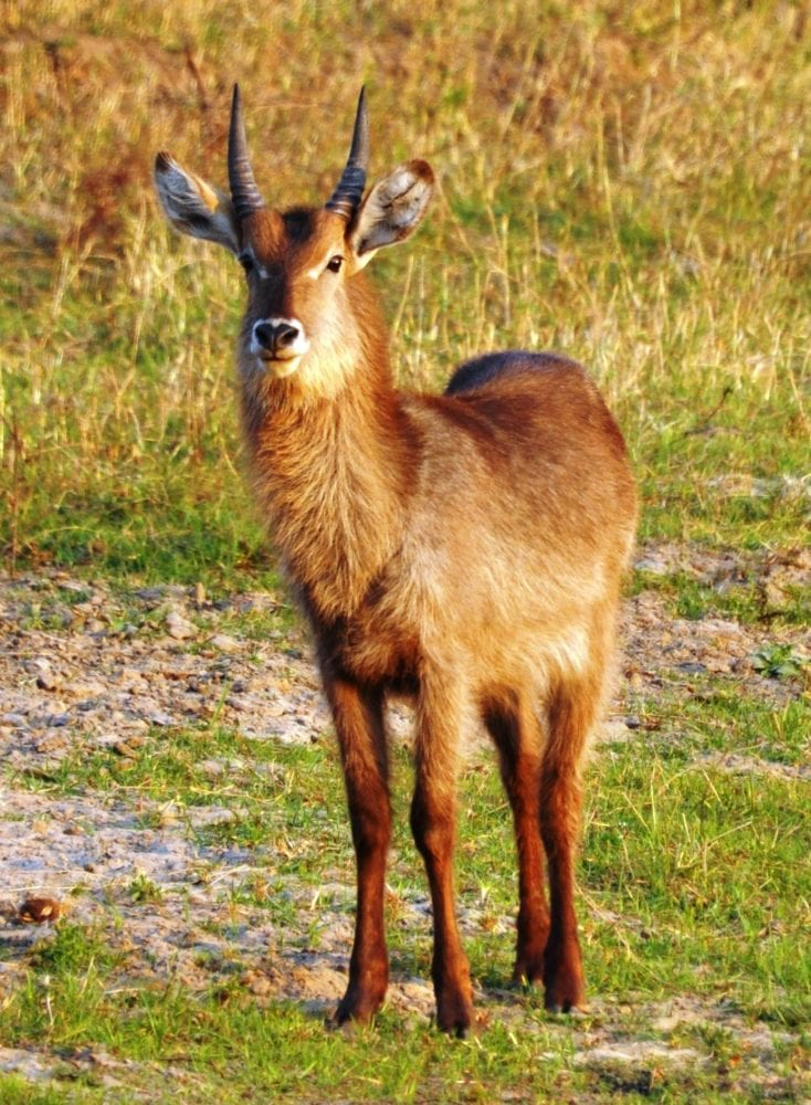 A bush buck warily watching in Malawi