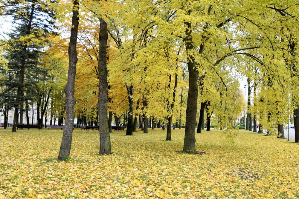 Trees with yellow autumn foliage and a carpet of leaves on the ground beneath