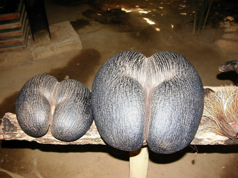 Coco de Mer nuts on display on a shelf