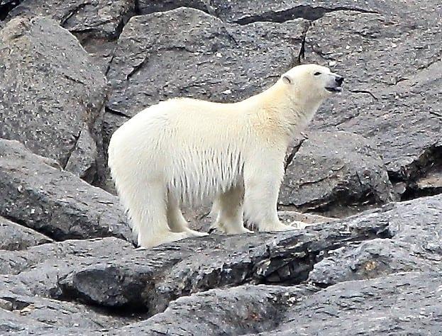A bedraggled polar bear stands on rocks, Spitsbergen