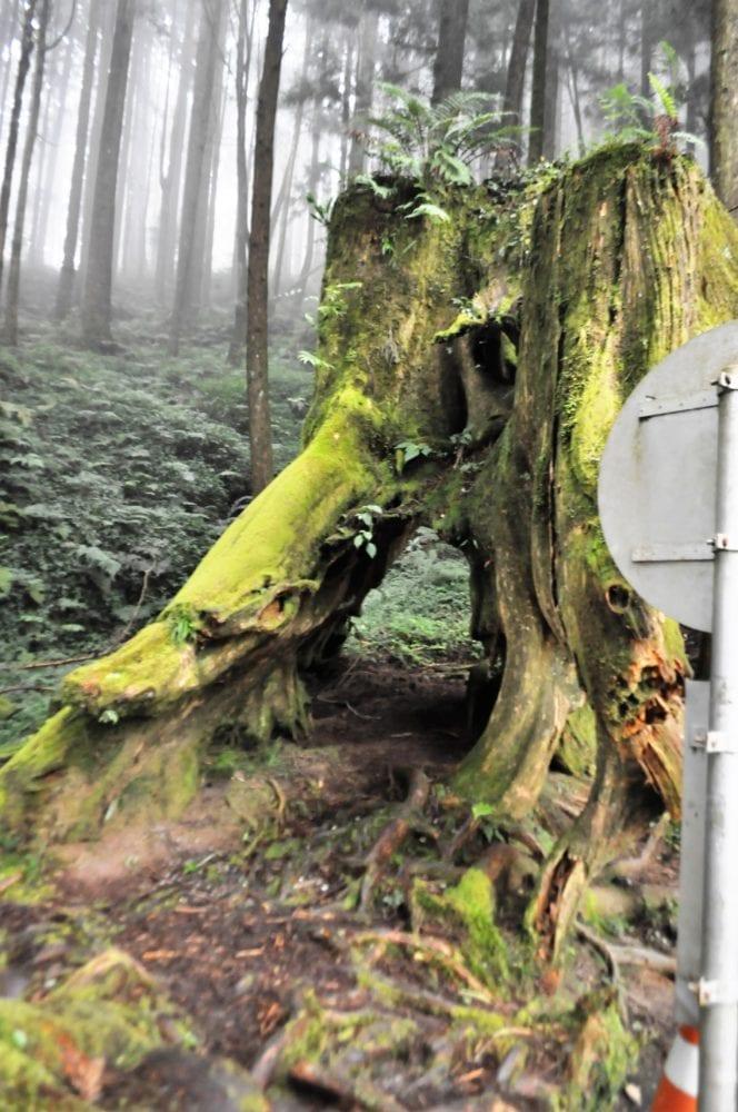 A moss covered tree stump at Alishan Scenic Park Taiwan