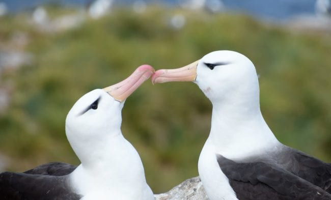 Two black browed albatrosses touch beaks at West Point Island