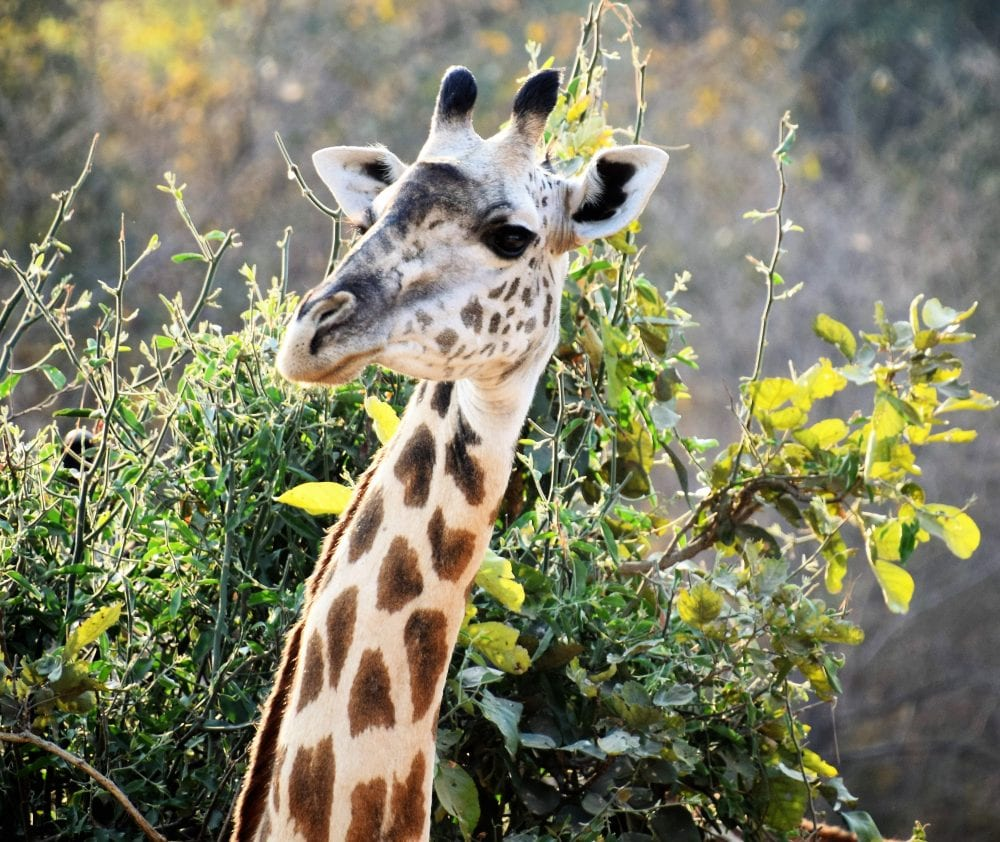 A headshot of a giraffe and part of its long neck