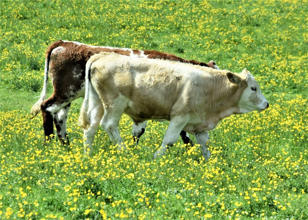 Calves in a buttercup filled meadow, Orkney