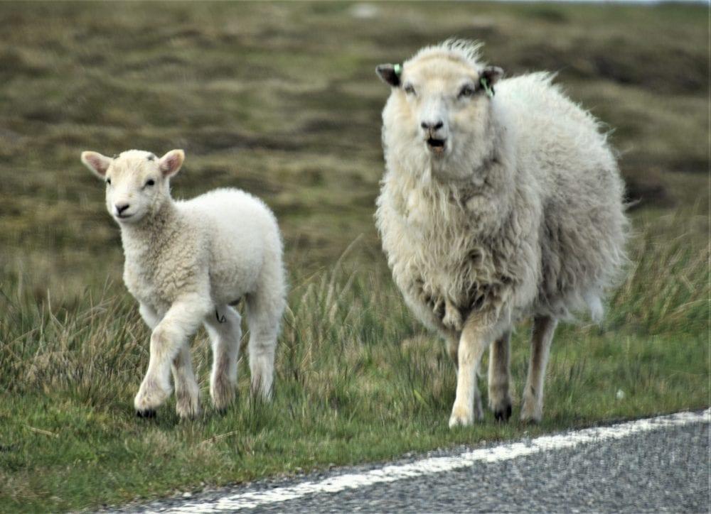Ewe and lamb trotting along the road, Shetland