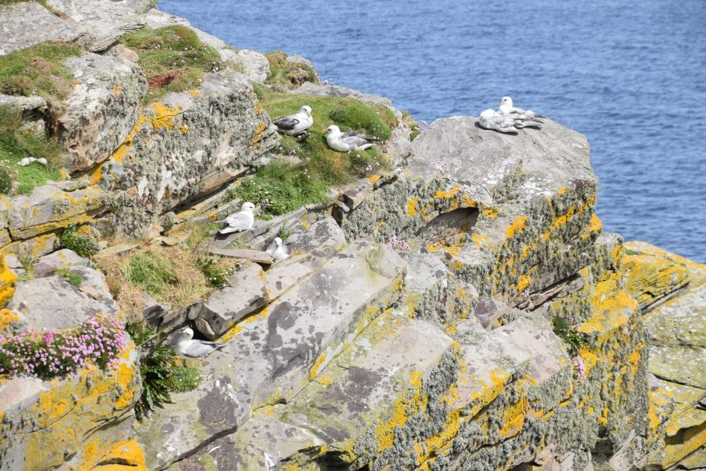 Seabirds nesting on lichen covered cliffs at Mousa Island